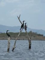 oiseaux sur arbres morts lac arenal