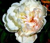 Dans mon coeue une rose