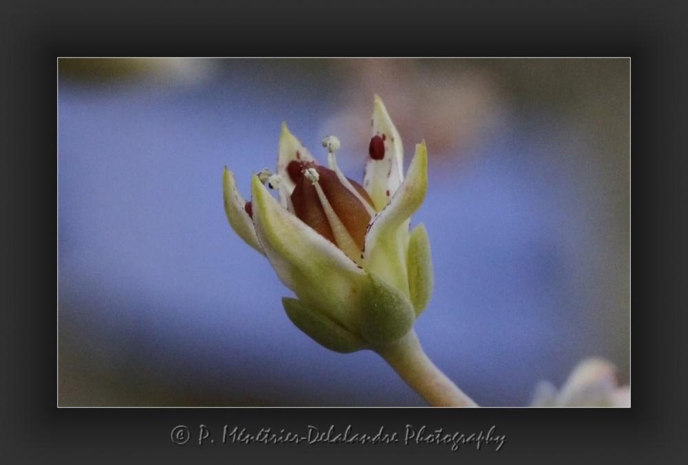 Naissance et épanouissement de fleurs d'une plante grasse...