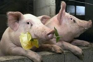 Ne pas confondre perversité masculine et porc ...
