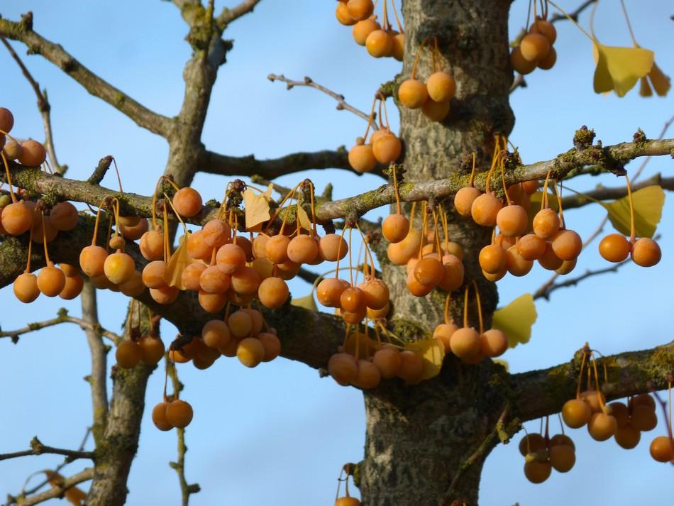 Magnifique en automne, le Ginko