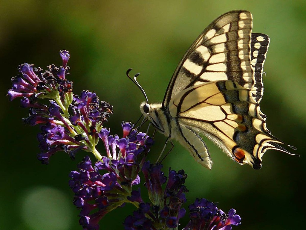 Machaon-sur-Buddleia.jpg