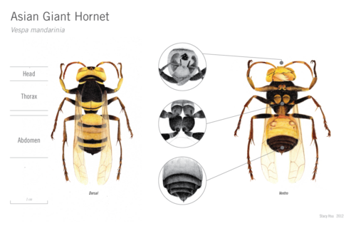 The specificities of the asian hornet