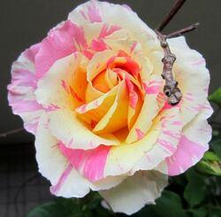 Les SuTaKy de Rose