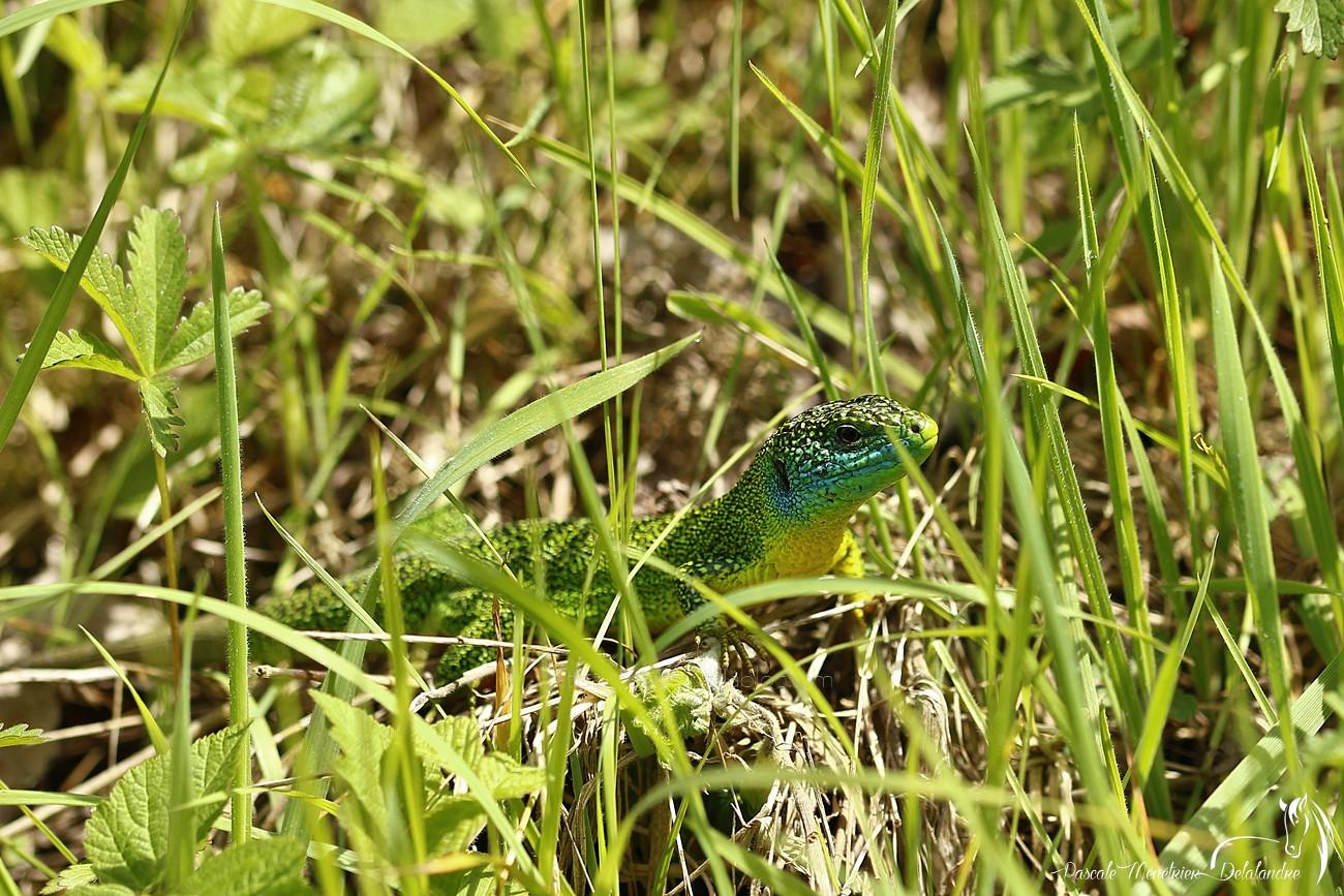 Lézard vert ♂  (Lacerta bilineata, anciennement Lacerta viridis)