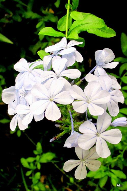 Les fleurs du plumbago