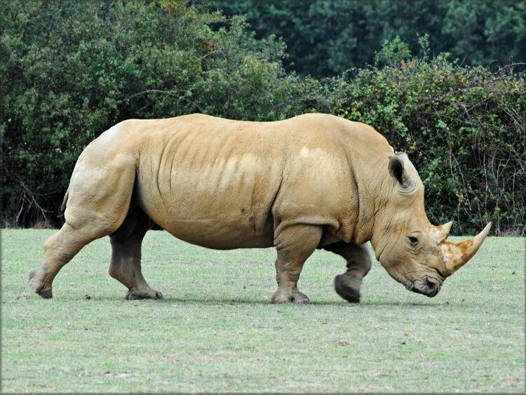 Photo de Rhinocéros du Zoo de la Boissière du Doré