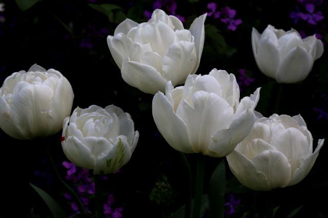 Tulipes 2015 : Mont Tacoma