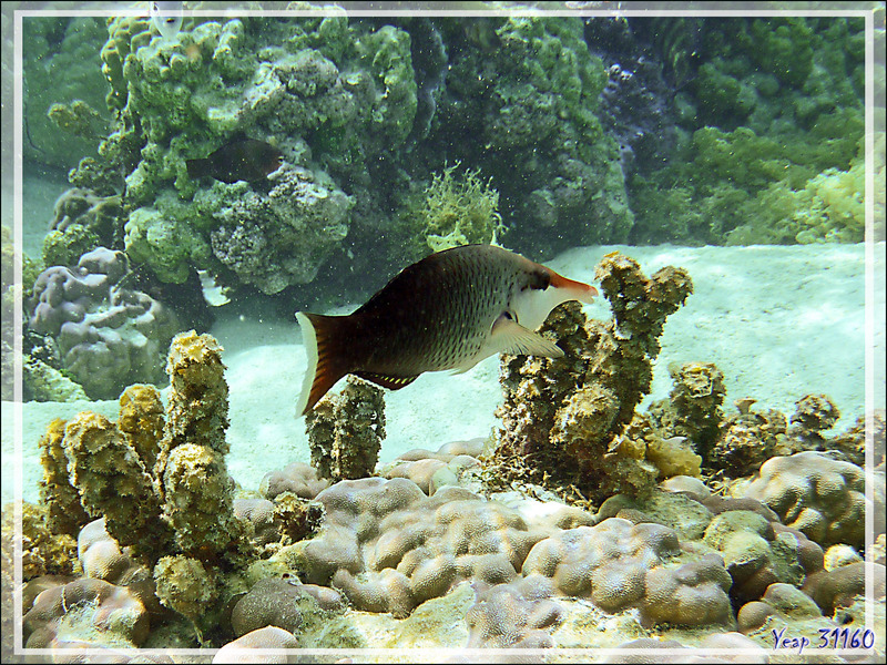 Gomphose vert ou Labre oiseau, Bird wrasse (Gomphosus varius) femelle - Jardin de corail - Motu Tautau - Taha'a - Polynésie française