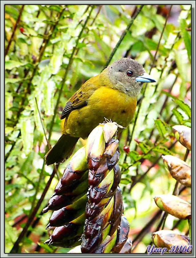 Blog de images-du-pays-des-ours : Images du Pays des Ours (et d'ailleurs ...), La très belle Madame Tangara à croupion rouge (Ramphocelus passerinii) - Arenal - Costa Rica