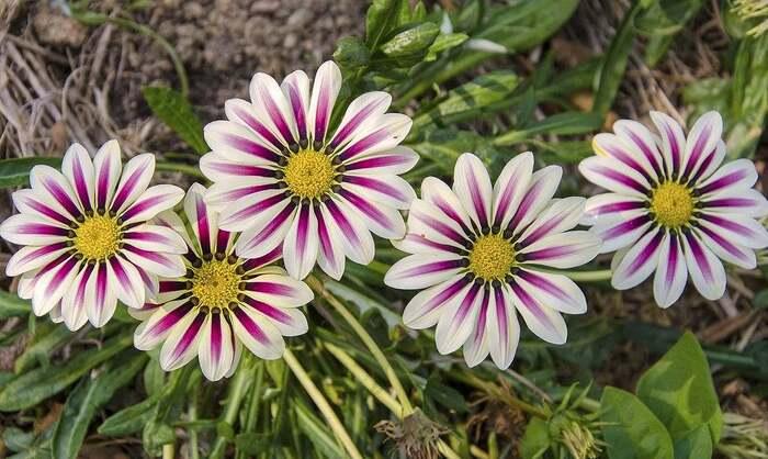 Fleurs cultivées : Gazanias
