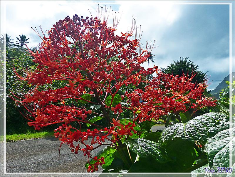 Clerodendron, Pagode, Pagoda flower (Clerodendrum paniculatum) - Raiatea - Polynésie française