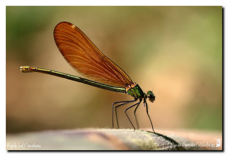 Caloptéryx vierge ♀ - Calopteryx virgo