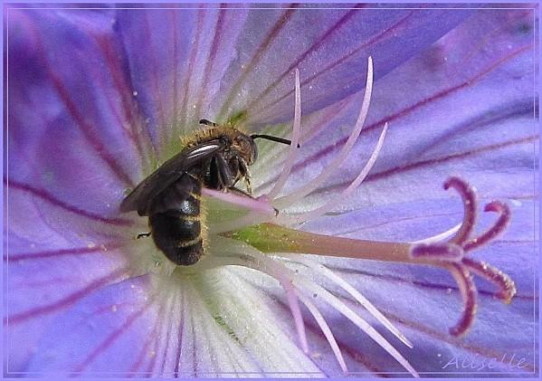 Geranium-vivace-bleu-violet-6.jpg