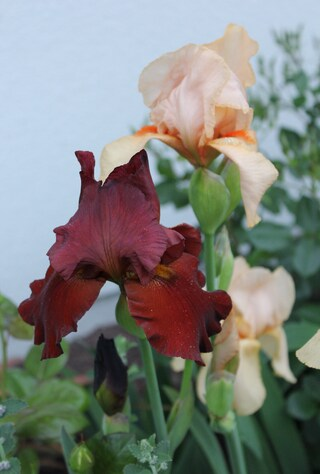 iris barbata brun rouge 'Red orchid'