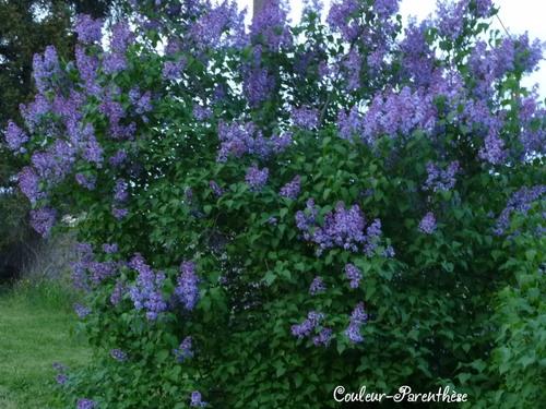 Les lilas sont fleuris!