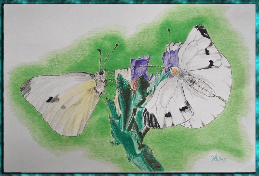 La piéride du chou  (Pieris brassicae) Pieridae