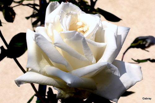 Roses blanches !