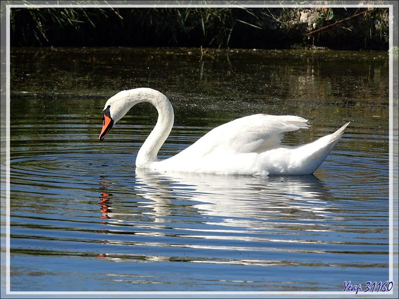 Cygne tuberculé, Mute swan (Cygnus olor) - La Couarde-sur-Mer - Ile de Ré - 17