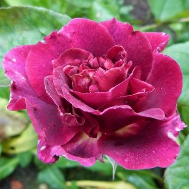 Les temps sont durs disent les roses...