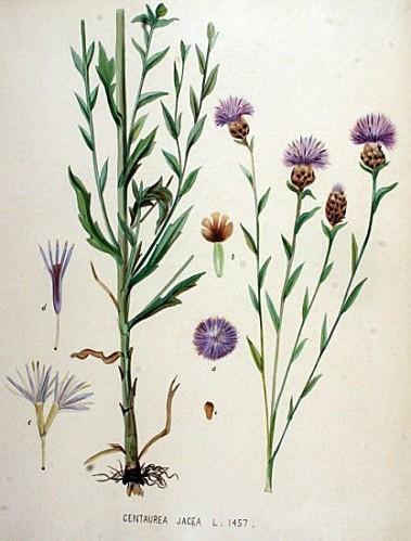 flo-bat19-1600-centaurea-jacea