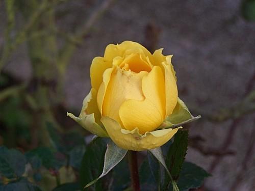 rose-jaune.jpg