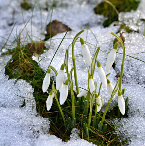 "kerovous:"" Snowdrops in the Snow"""