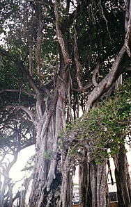 banian