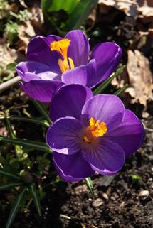 Mon jardin à la mi-mars 2013