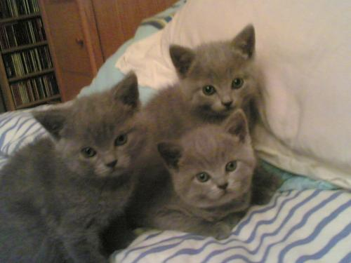chatons-chartreux.7792236-63554904