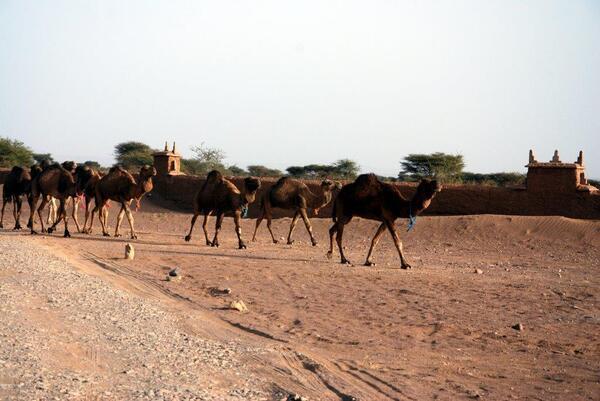 Arrivée des chameliers et chameaux