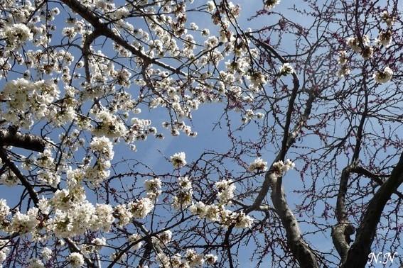 Tanka de printemps