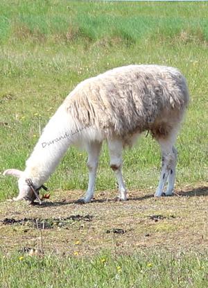 Lama ou Lama Glama