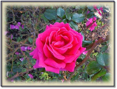 rose-jardin-11-2.jpeg