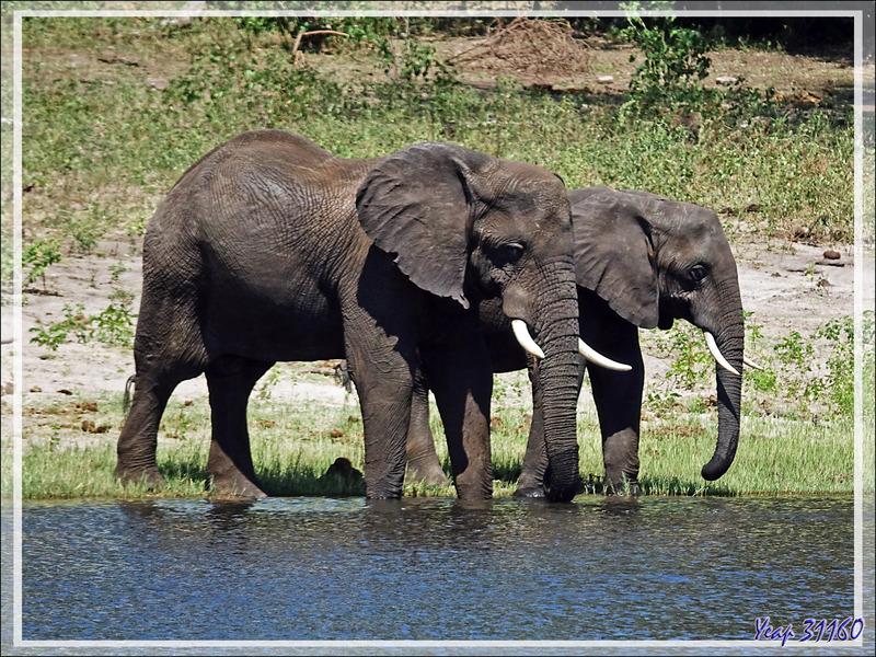 La baignade ludique des éléphants - Safari nautique - Parc National de Chobe - Botswana