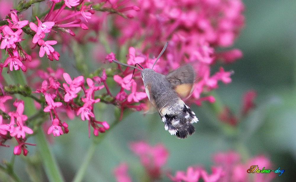 papillon sphinx colibri
