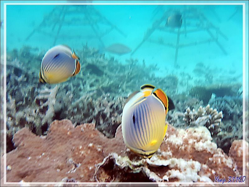 Poisson-papillon à trois bandes, Poisson-papillon côtelé indien, Melon butterflyfish  (Chaetodon trifasciatus) sur fond de restauration du corail - Snorkeling à Moofushi - Atoll d'Ari - Maldives