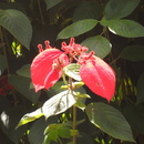 Mussaenda erythrophylla - Mussuenda Rouge - Photo : Fritz