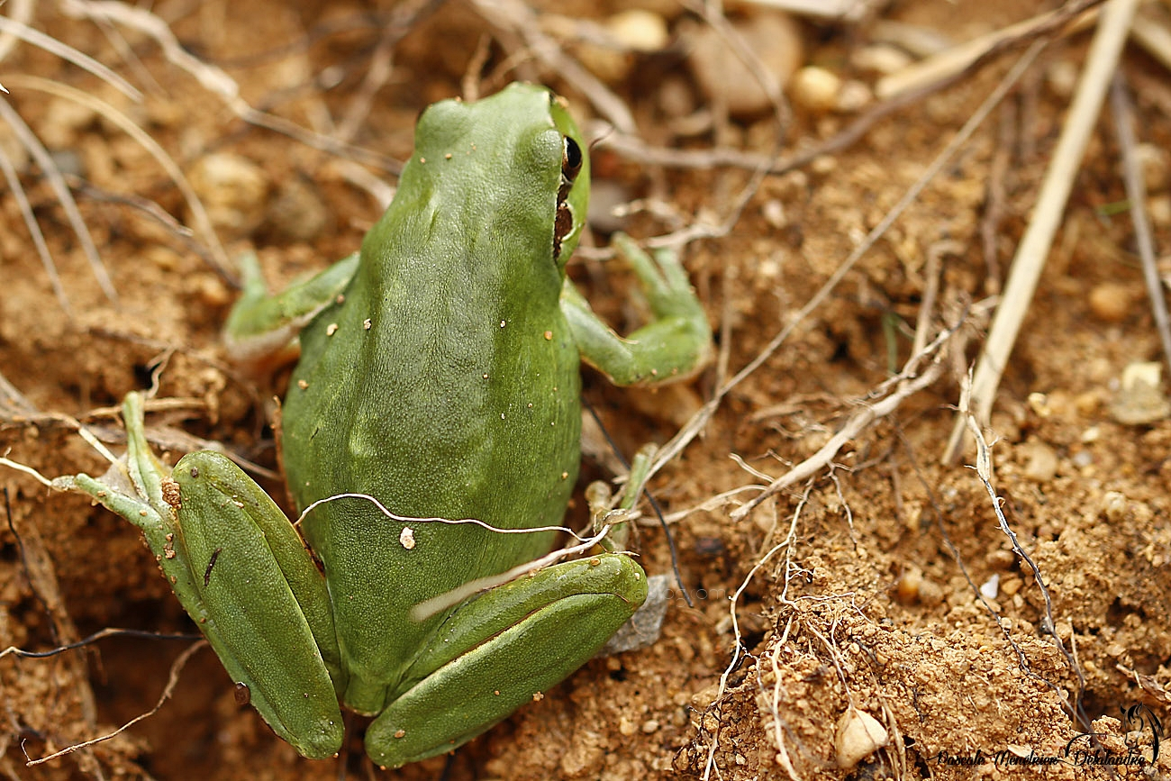 Hyla meridionalis - rainette méridionale