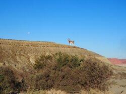 Ischigualasto - Un guanaco et la lune (mais pas de pierre cette fois!)
