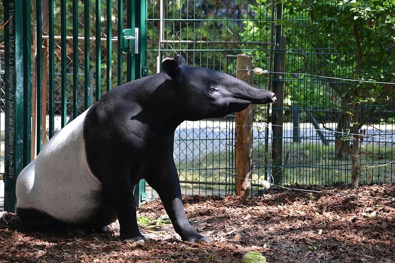 La Ménagerie du Jardin des Plantes : Tengah le Tapir Malais