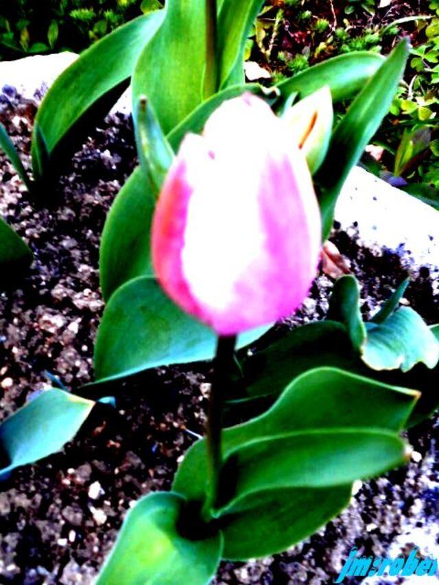 Au Jardin ,elle est le symbole du Printemps