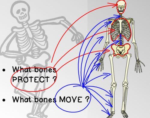 CE2SC - Body & Skeleton