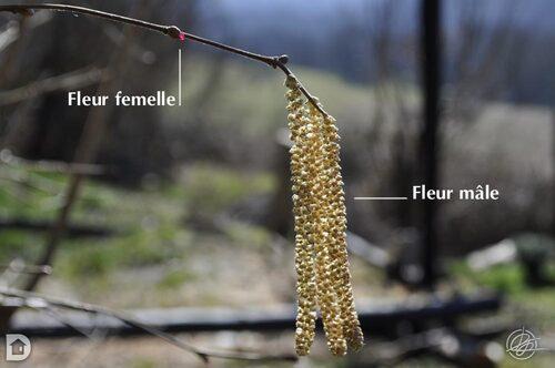 Fleurs de noisetier