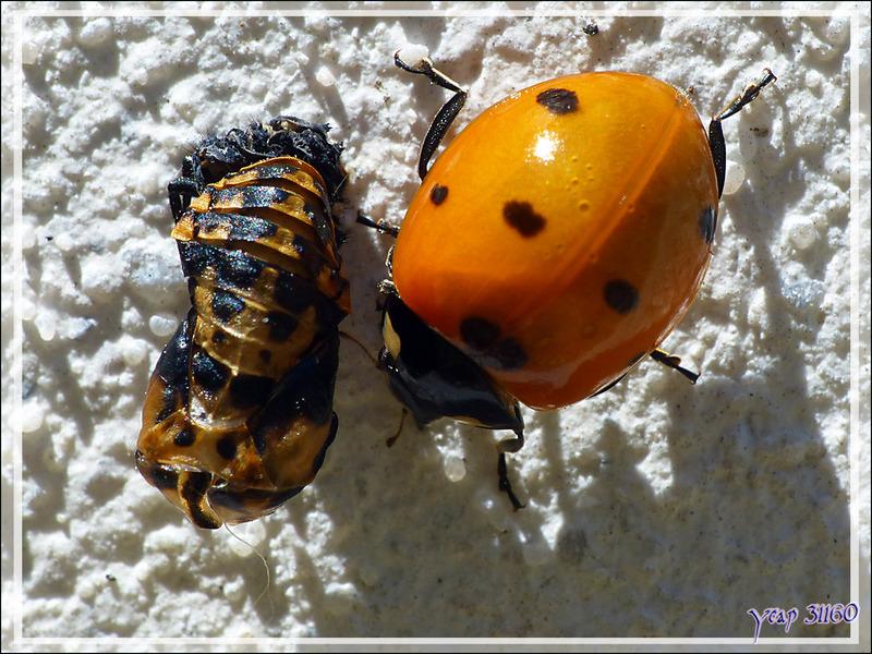 Ponte et naissances de Coccinelles à sept points (Coccinella septempunctata) - 2ème partie : des larves à l'imago - La Couarde-sur-Mer - Île de Ré - 17