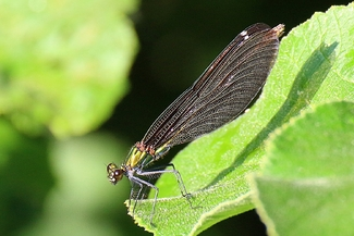 Libellule Caloptéryx vierge