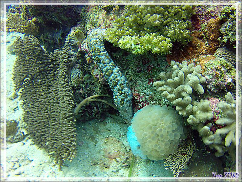 Encore des beautés sous-marines présentées en vrac - Nosy Tsarabanjina - Archipel des Mitsio - Madagascar