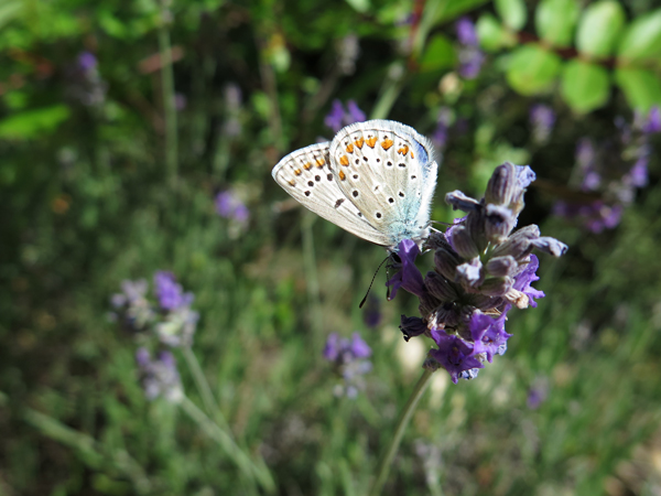 les papillons de provence (été 2015)