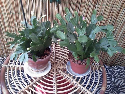 Mes Cactus de Noël / Schlumbergera