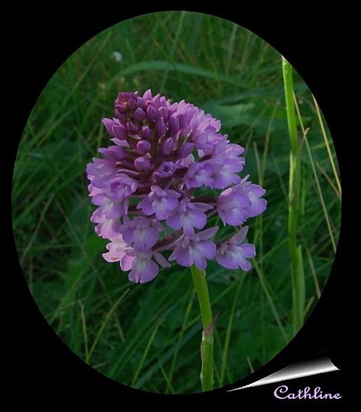 Orchis pyramidalis 2